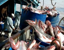 """Cá tra lại vào danh sách """"đặc biệt"""" tại Brazil"""