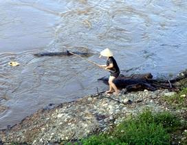 Vớt gỗ trên sông Hồng mùa lũ