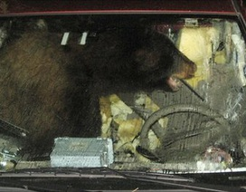 """Mỹ: Gấu đen khổng lồ xông lên xe """"cướp lái"""""""