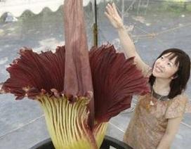 """Người Nhật phát sốt vì """"hoa thối"""""""