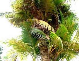 Phát hiện cây dừa 5 năm tuổi có tới 27 ngọn