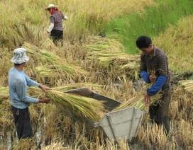 10% gạo trên thị trường Trung Quốc bị nhiễm độc