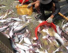 Xuất khẩu cá tra VN vào Mỹ: Lại có nguy cơ bị đóng cửa