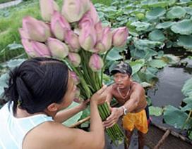 Người Hà Nội: Sen chơi mùa vội vã