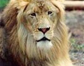8 tuổi đánh nhau với sư tử cứu em gái