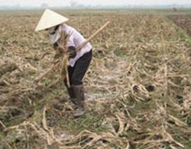 Vĩnh Phúc: Tan hoang ruộng đồng sau mưa lũ