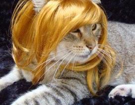 Khi chó, mèo đội tóc giả