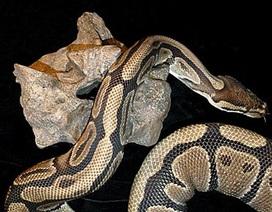 Phát hiện loài trăn khổng lồ nặng trên 1 tấn