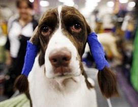 Chùm ảnh: Sôi động hội thi chó nuôi lớn nhất tại Mỹ