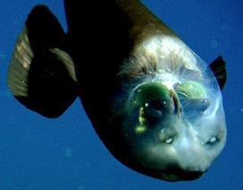 Loài cá lạ có đầu trong suốt