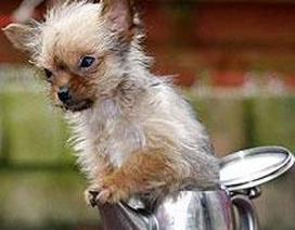 Chú chó nhỏ nhất nước Anh