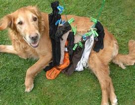 """Chó """"khoái"""" ăn đồ vải"""
