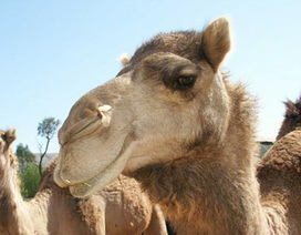 Nhộn nhịp kinh doanh nước tiểu lạc đà ở Yemen