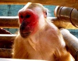 Thả 3 cá thể khỉ quý hiếm về với thiên nhiên