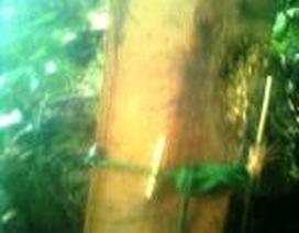 """Vụ gỗ sưa trăm tỷ: Thêm một cán bộ kiểm lâm bị """"tố"""" bắt tay lâm tặc"""