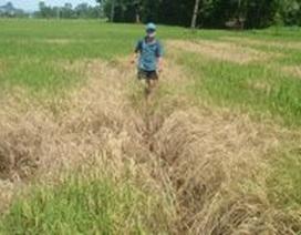 Quảng Bình: Nông dân điêu đứng vì lúa nhiễm rầy nâu