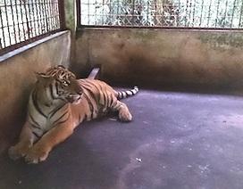 Bàn giao hai cá thể hổ cho Trung tâm động vật hoang dã Hà Nội