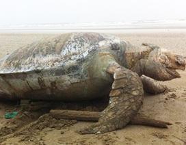 Xác đồi mồi nặng hơn 100kg trôi dạt vào bờ biển