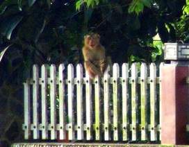 Bị khỉ hoang quậy phá, dân lại sợ thợ săn