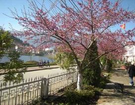 Lên Sa Pa ngắm hoa anh đào Nhật Bản