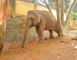 Đi xem xiếc, bé trai 12 tuổi bị voi quật chết