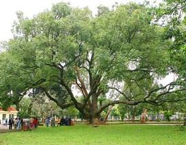 Vinh danh hai cây long não gần 100 tuổi