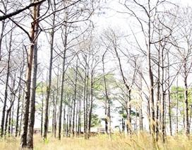 Đình chỉ hàng loạt cán bộ để rừng thông bị tàn phá