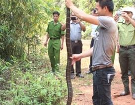 Rắn hổ mang chúa dài 3m cắn chết một phạm nhân