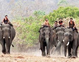 Hành động khẩn để chặn sự suy giảm số lượng voi
