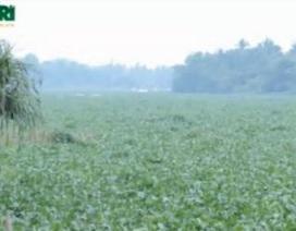 Nỗ lực vớt lục bình trên sông Đồng Nai