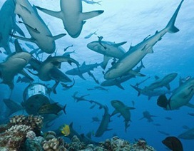 """Phát hiện chốn """"thiên đường"""" của cá mập"""