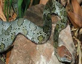 """Sự thực về loài rắn thần """"cực thiêng"""" ở Tuyên Quang"""