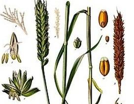 Mở khóa mã di truyền then chốt của lúa mì
