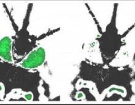 Muỗi nuôi ở nhiệt độ thấp có hệ thống miễn dịch yếu hơn