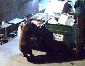 Gấu tinh ranh trộm đồ ăn thừa của nhà hàng
