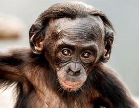 Sự tương đồng kinh ngạc giữa người và khỉ bonono