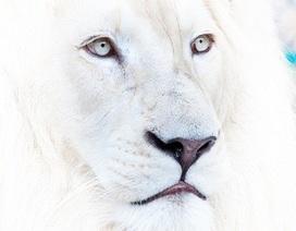 Sư tử trắng - Chàng chiến binh quả cảm, tỉnh táo