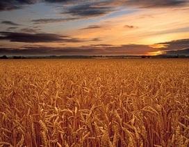 Hiệu ứng nhà kính làm giảm năng suất cây trồng