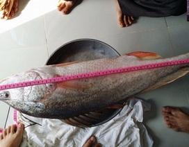 Ngư dân Đồng Nai khẳng định bắt được cá sủ vàng bạc tỷ