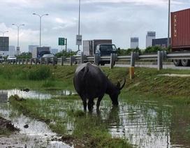 Hàng trăm con trâu, bò cản trở giao thông trên đường cao tốc