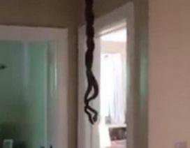 Thót tim rắn bất ngờ rơi ra từ trần nhà