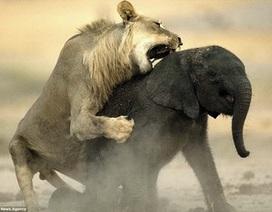 Khoảnh khắc voi con xấu số trở thành mồi ngon cho sư tử