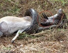 Trăn gặp sự cố hy hữu khi đang ăn thịt linh dương