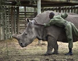 Thế giới chỉ còn 5 cá thể tê giác trắng phương Bắc