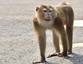 Nữ du khách bị khỉ tấn công trên bán đảo Sơn Trà