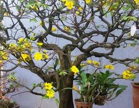 Ngắm gốc thanh mai 50 năm tuổi nở hoa cực đẹp