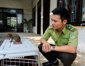 Thả cá thể mèo rừng quý hiếm về thiên nhiên