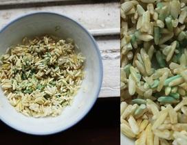 Gạo chuyển màu xanh sau khi ngâm nước: Do nấm mốc