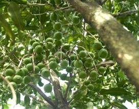 Quảng Ngãi khuyến cáo nông dân cẩn trọng với mắc ca