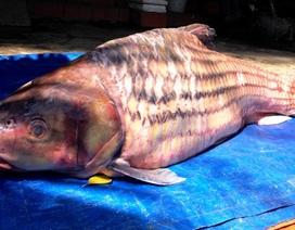 Bắt được cá trà sóc nặng 60kg hiếm gặp